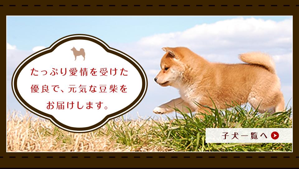 豆柴の子犬情報