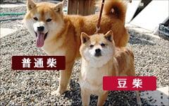 豆柴と柴犬の体格差