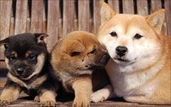 豆柴のお父さん・お母さん犬